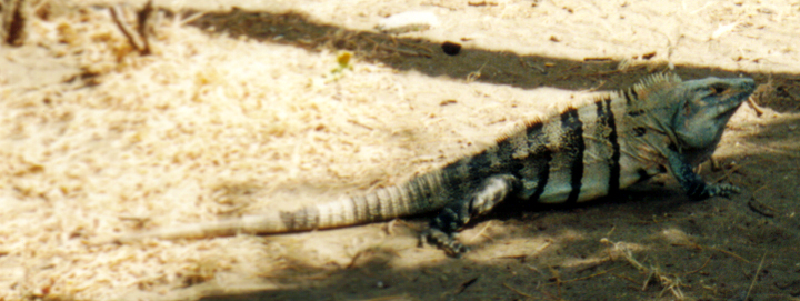 Iguanas Ruled The Campsite